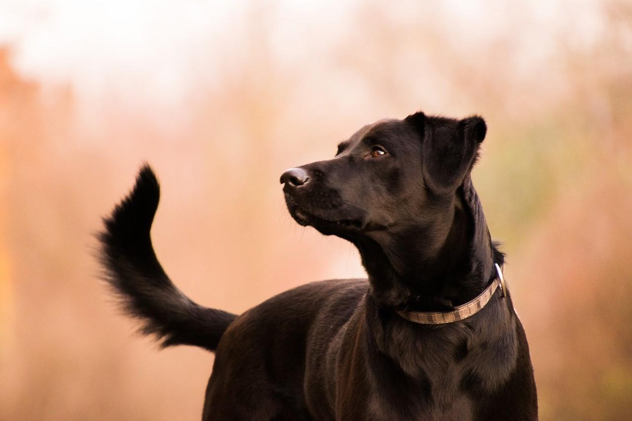 Labrador Retriever - Haarausfall und Pflege