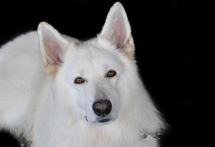 Der schwarze und weiße Deutsche Schäferhund