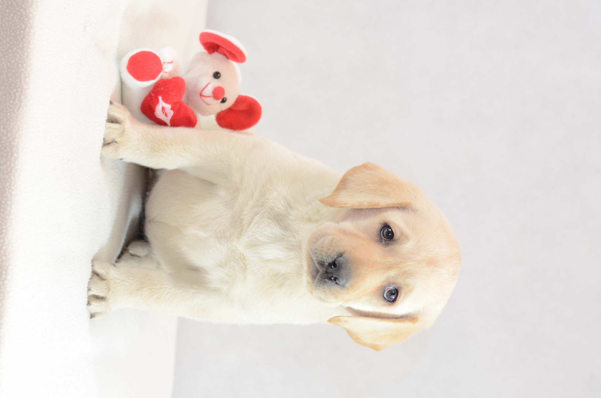 Labrador Retriever Welpe kaufen - Welpe