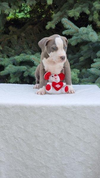 Amerikanischer Staffordshire Terrier Welpe kaufen - Welpe