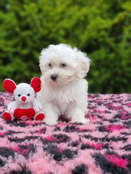 Mini Malteser Welpe kaufen - Welpe