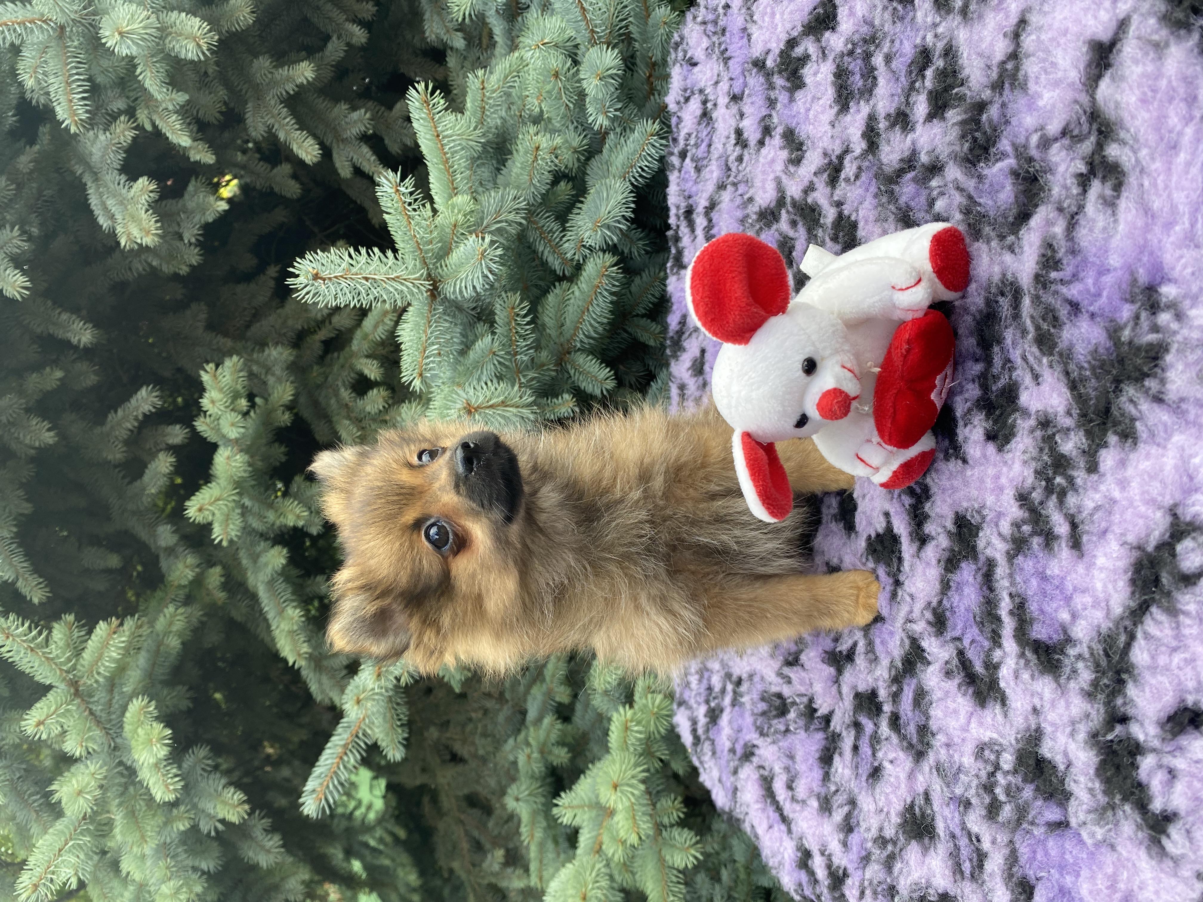 Pomeranian Spitz Welpe kaufen - Welpe