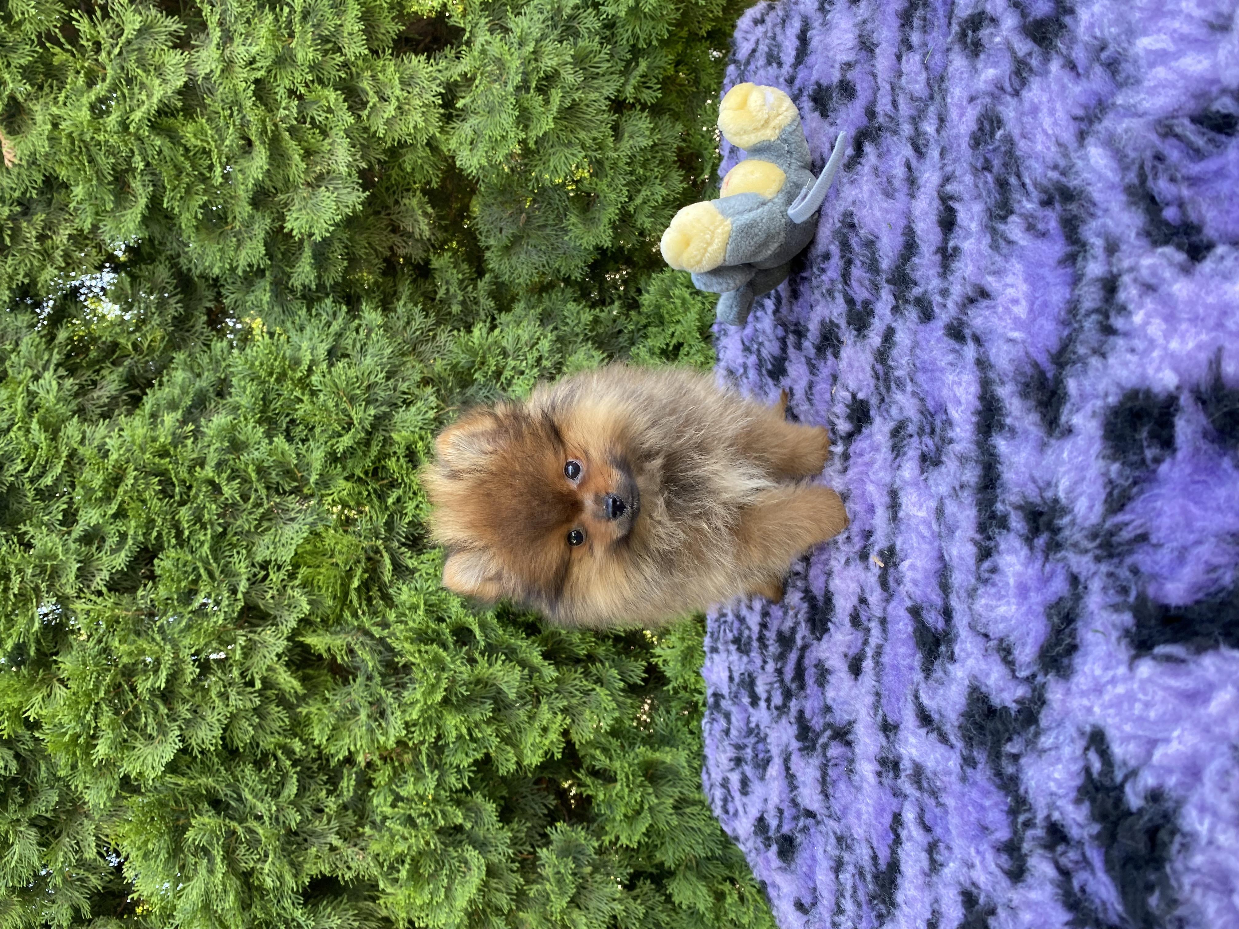 Pomeranian Welpe kaufen - Welpe