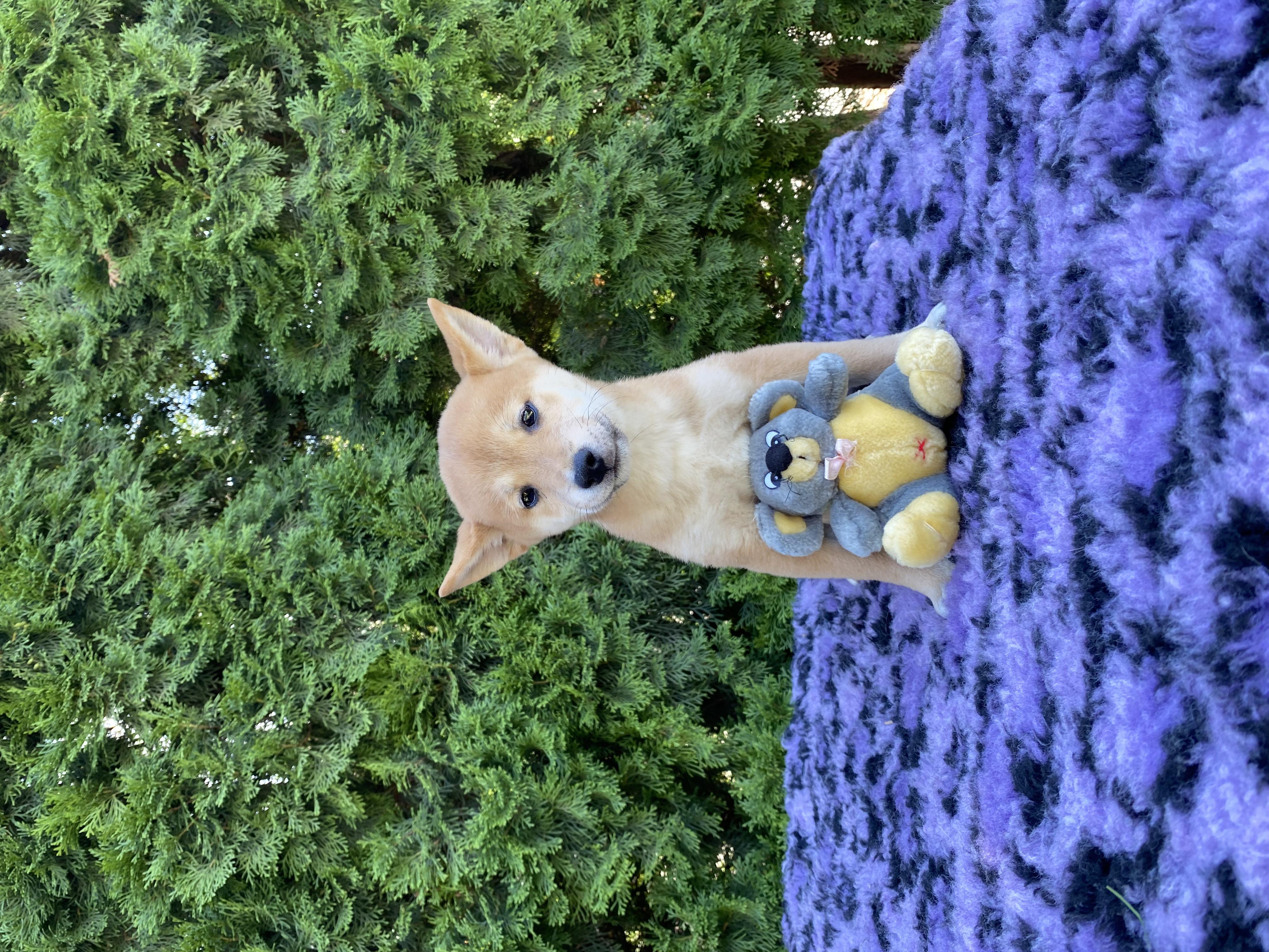 Shiba Inu Welpe kaufen - Welpen
