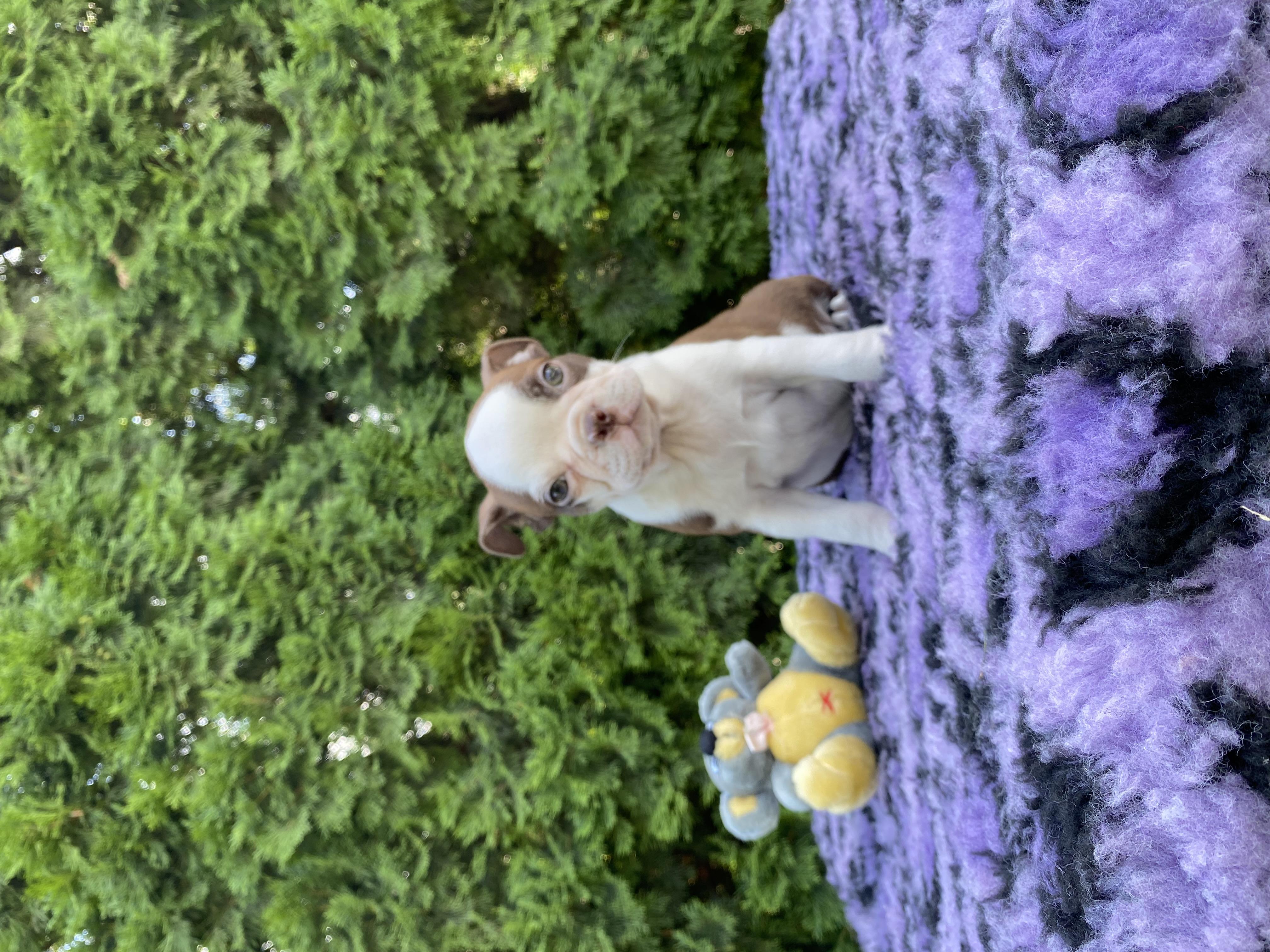 Boston Terrier Welpe kaufen - Welpe
