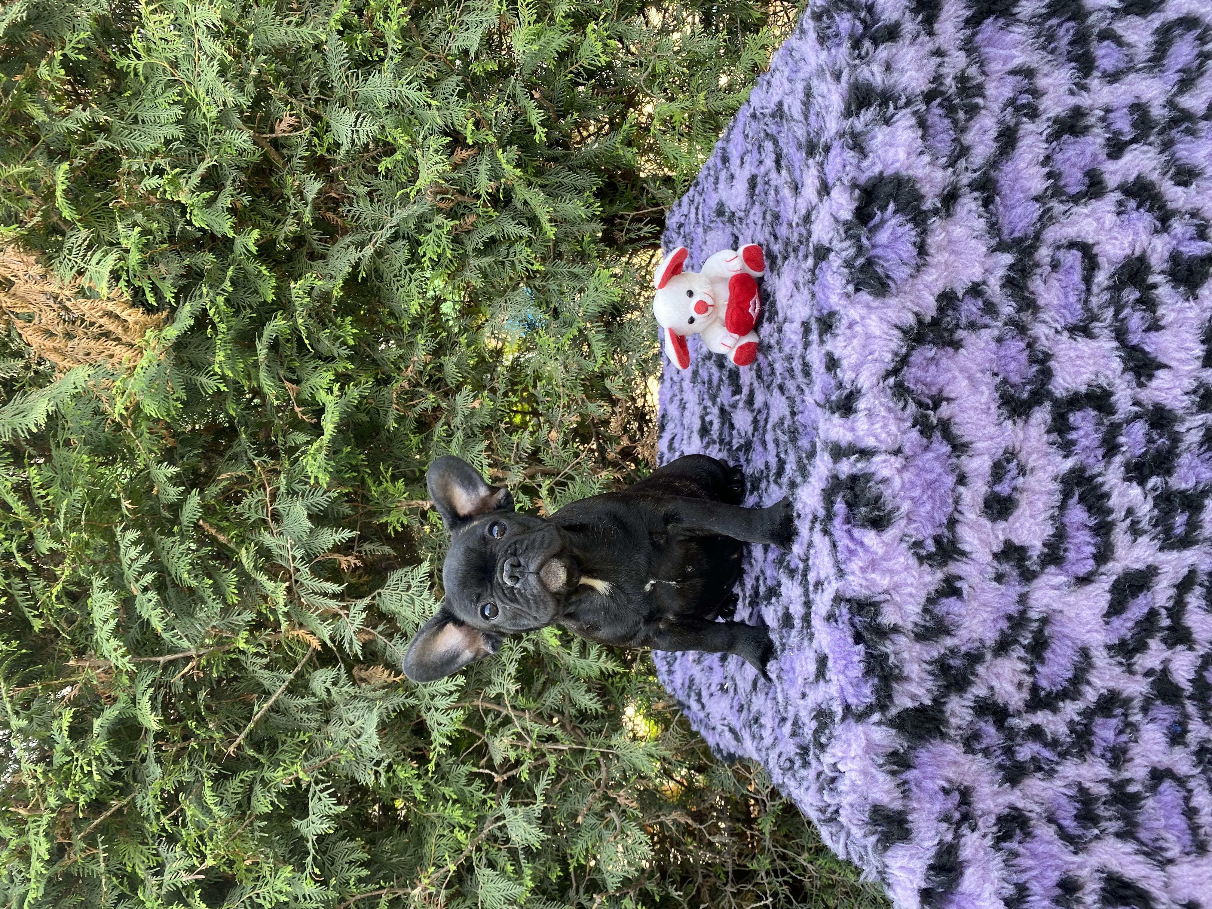 Französische Bulldogge Welpe kaufen - Welpe