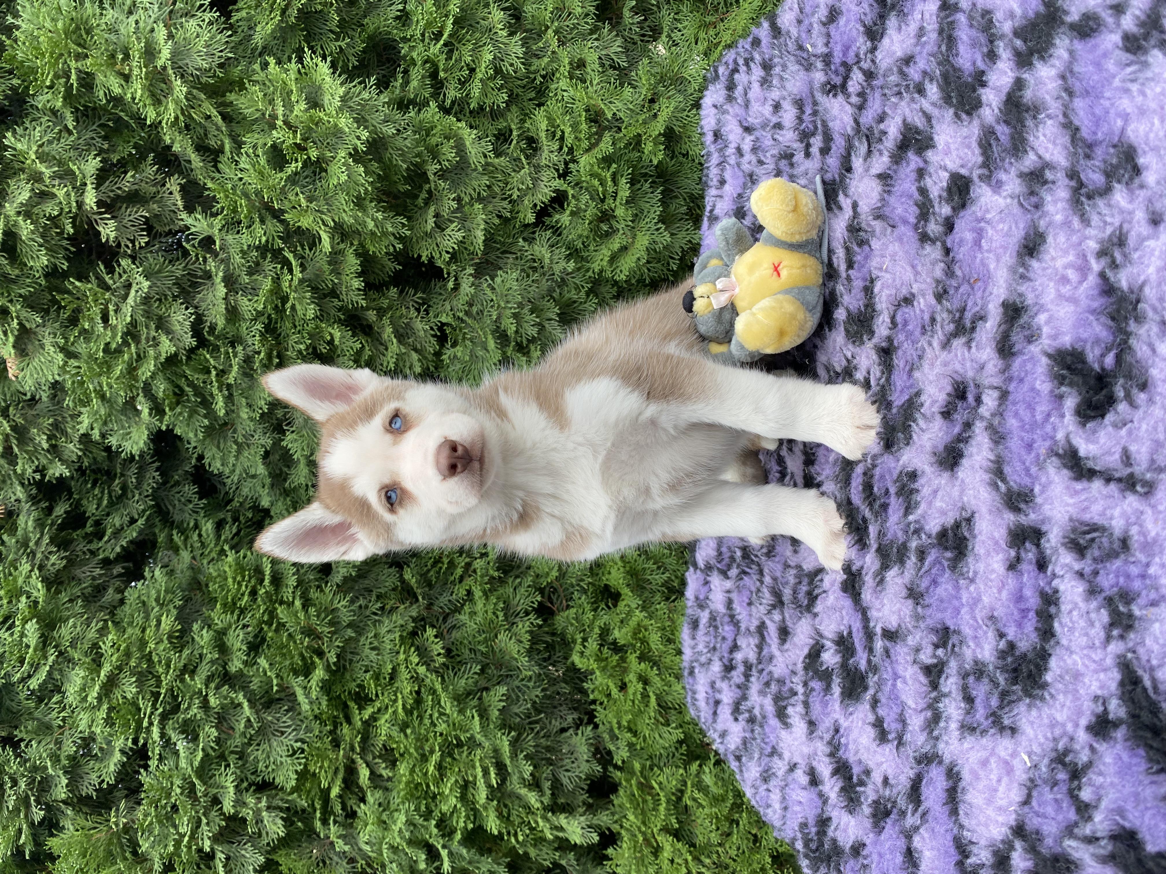 Siberian Husky Welpe kaufen - Welpe