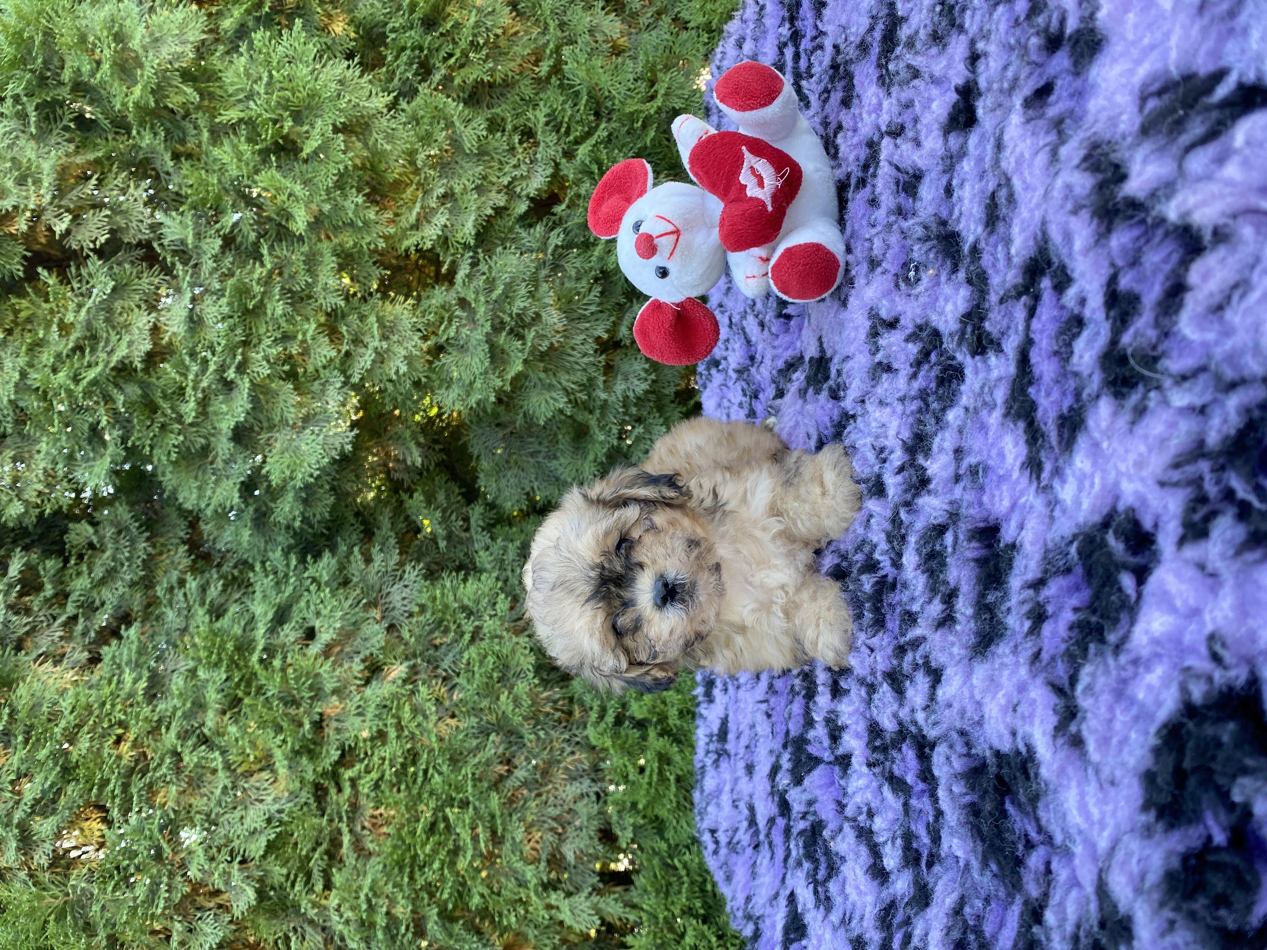 Shih-Tzu Poodle mischling welpen