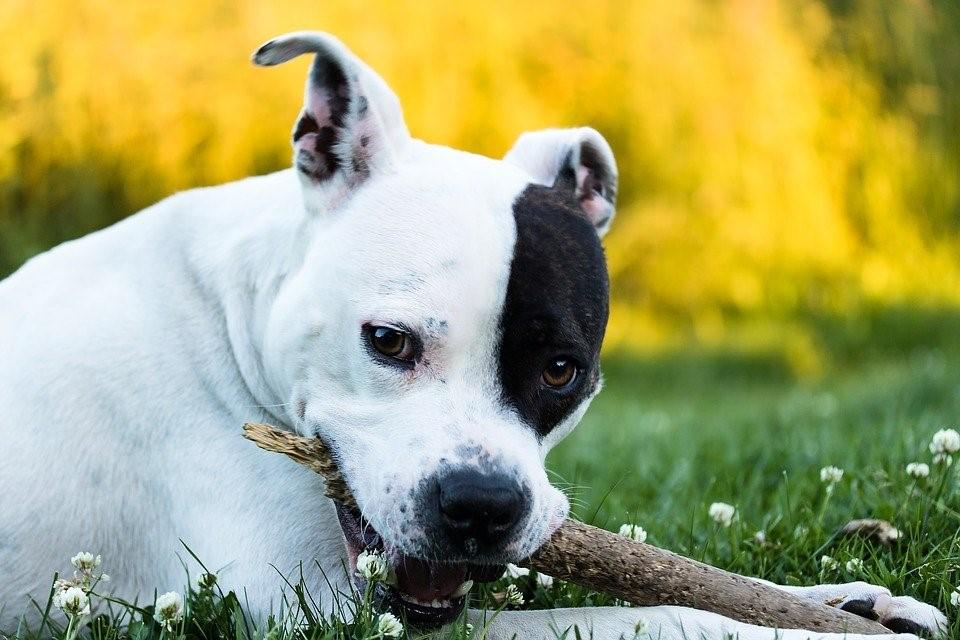 Über American Staffordshire Terrier