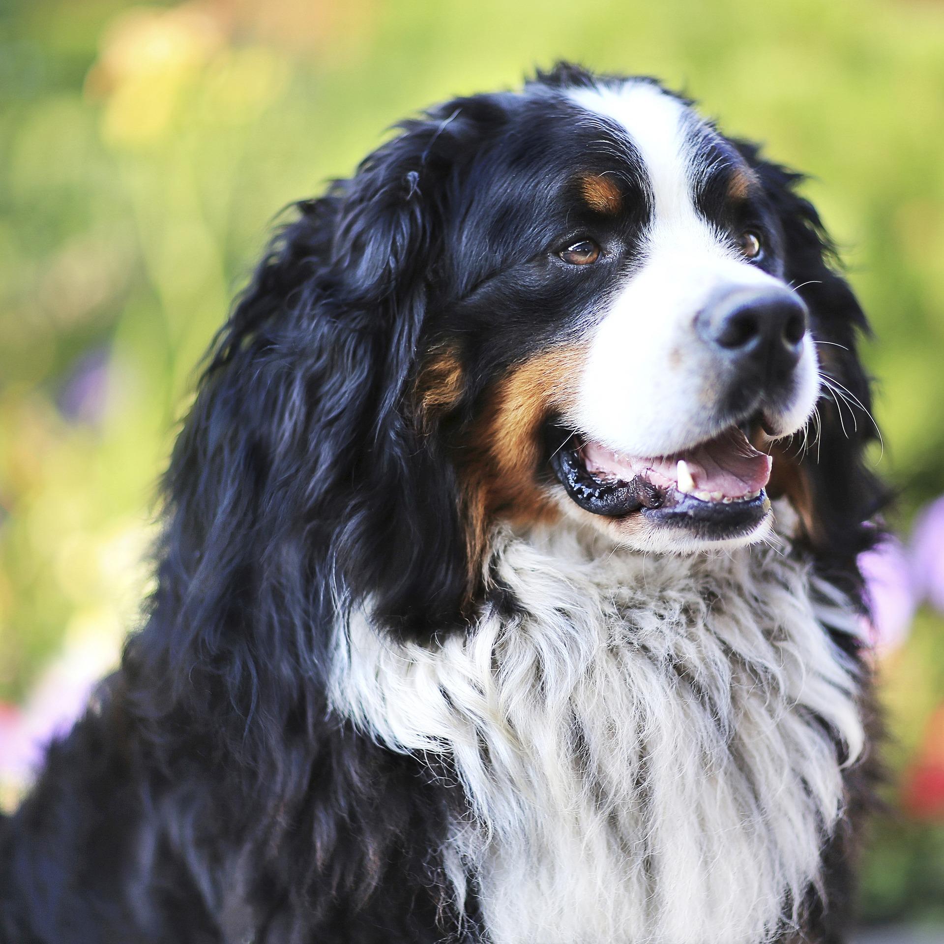 Berner Schäferhund