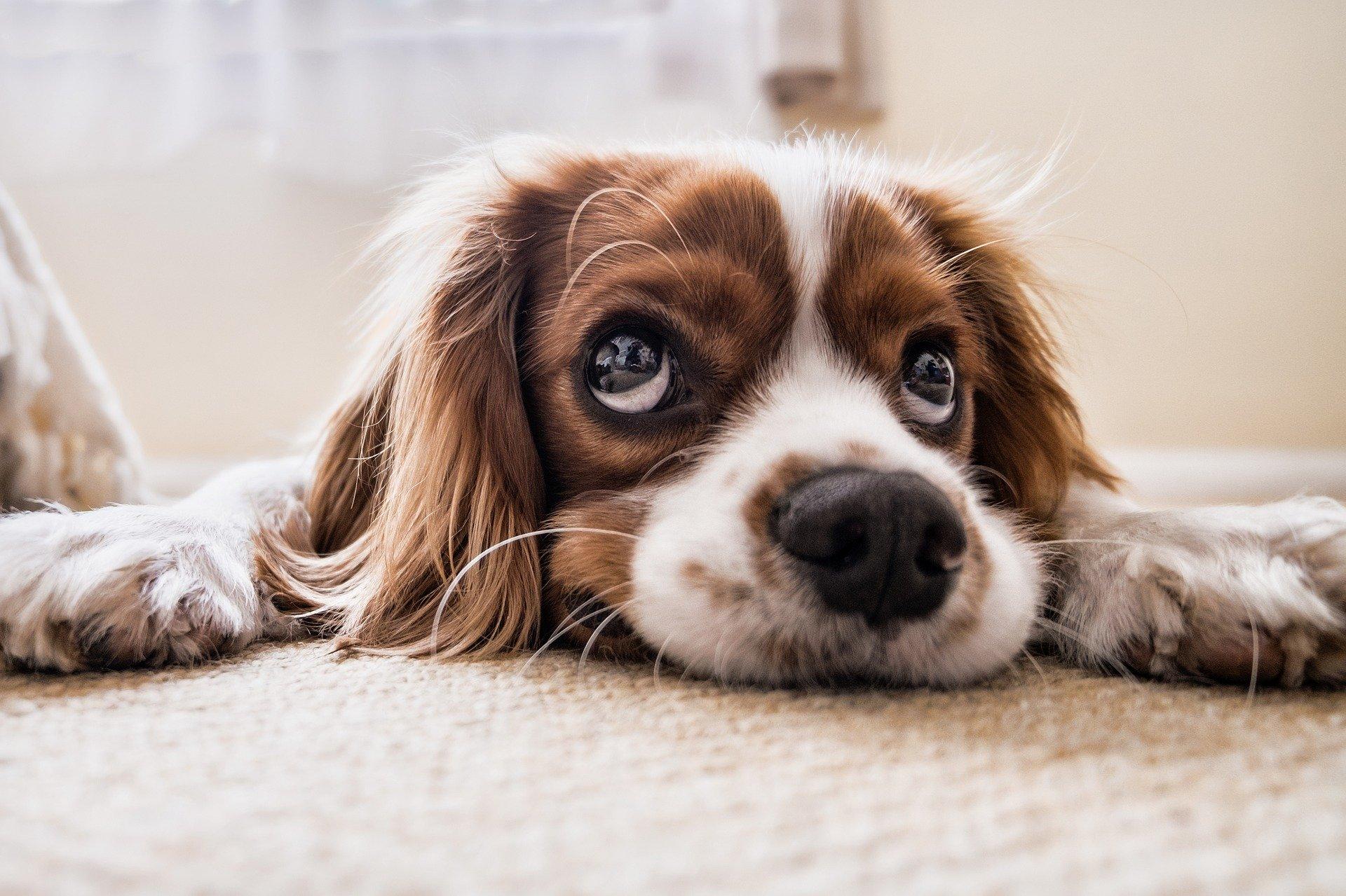 Hypoglykämie in behandelten diabetischen Hunden