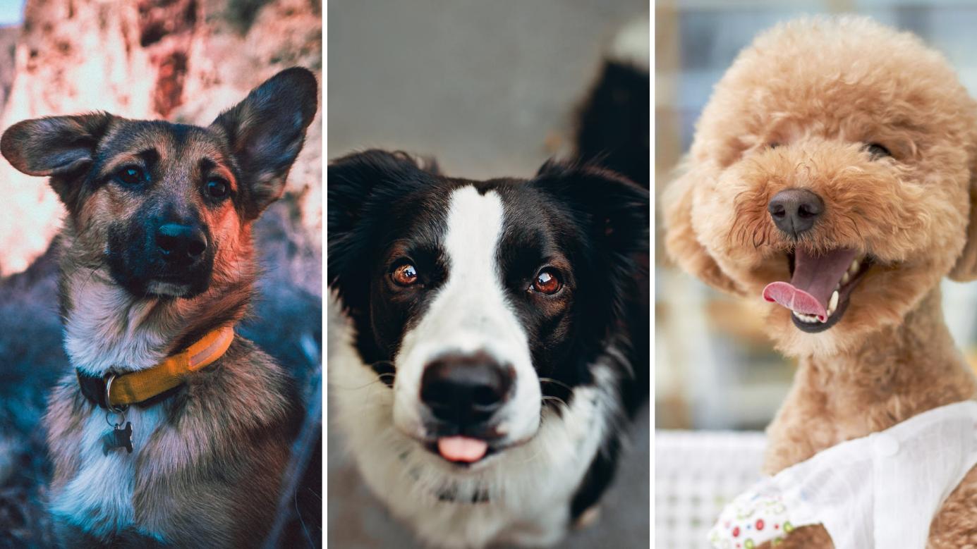 Top 10 intelligente Hunderassen