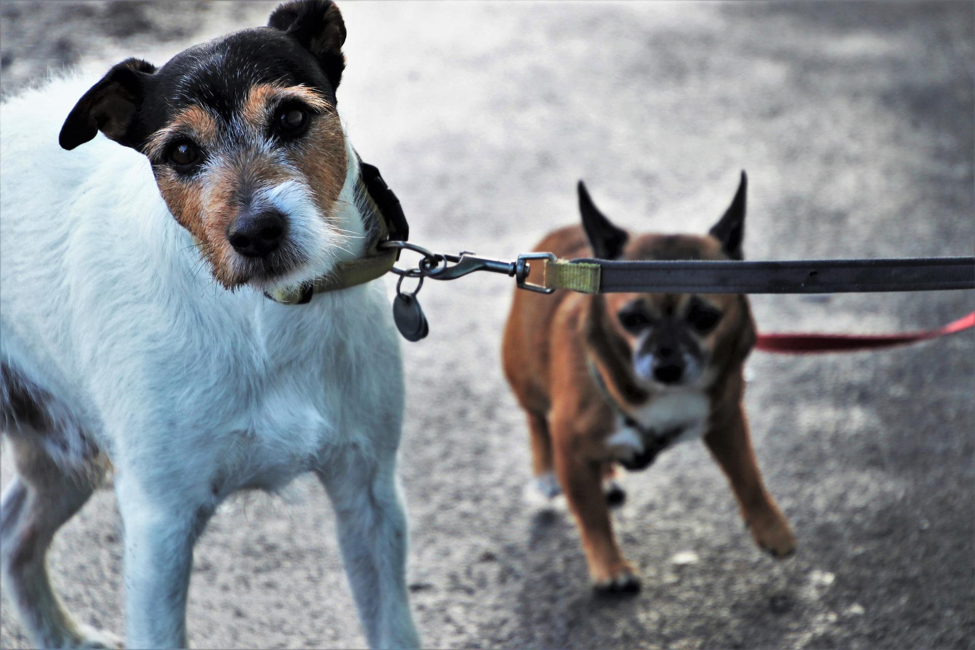 Wie man einen Hundewelpen an einer Leine gewöhnt