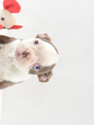 Boston Terrier Welpe kaufen