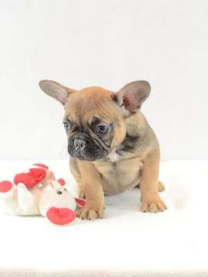 Französische Bulldogge Welpe kaufen