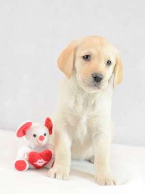 Labrador Retriever Welpe kaufen