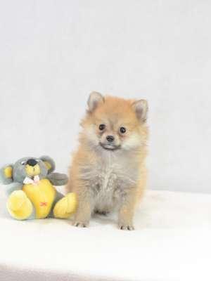 Pomeranian Spitz Welpe