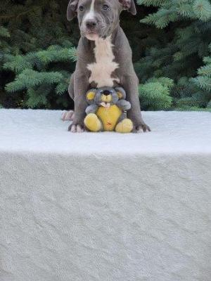 Amerikanischer Staffordshire Terrier Welpe kaufen