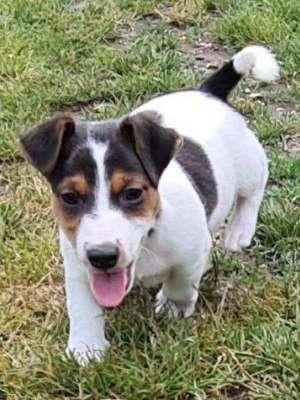 Jack Russell Terrier Welpe kaufen