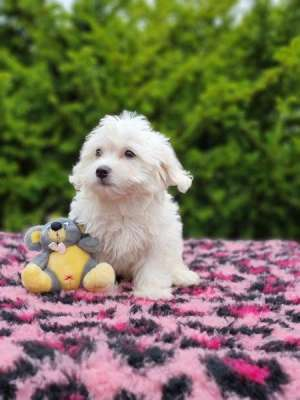 Mini Malteser Welpe kaufen