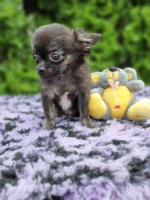 Chihuahua Welpe kaufen