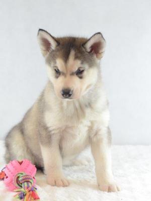 Siberian Husky Welpe