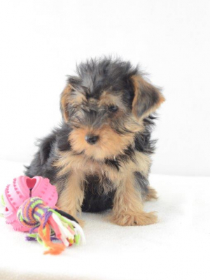 Mini Yorkshire Terrier Welpe