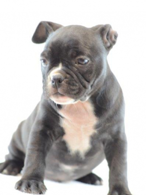 American bully micro puppy