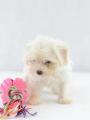 Mini Malteser welpe