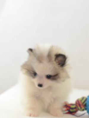 Extra mini Pomeranian Welpe