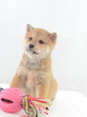 Shiba Inu Welpe zu Verkaufen
